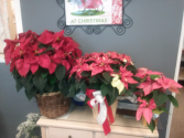 poinsettia plant Assorted Colors