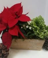 Poinsettia Plant Box plants
