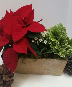 Poinsettia Plant Box plants