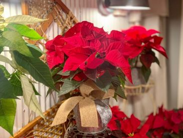 Poinsettia Plant  Holiday plant