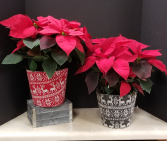 Poinsettia plant in Sweater planter Blooming Plants