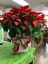 Poinsettia Plant-Large Town South Floral