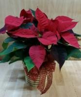 Poinsettia Plant Plant