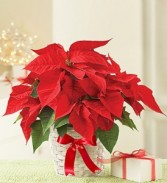 POINSETTIA  Plant small