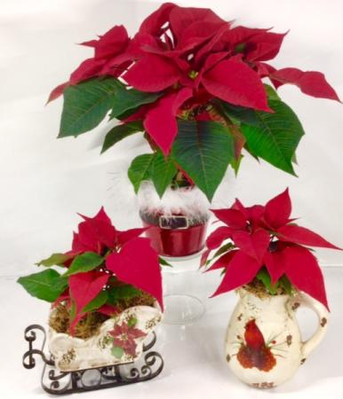 Poinsettia Sleigh, Santa Tin or Cardinal Pitcher