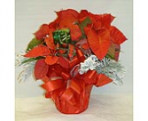 Poinsettia Small Plant