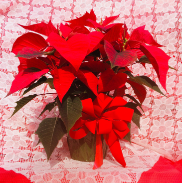 Poinsettia - Small Poinsettia