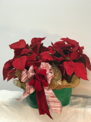 POINSETTIA  THE  PAIR in Ashburn, VA | A Country Flower Shop