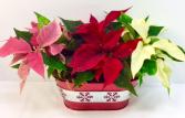 Poinsettia Trio In Snowflake Tin