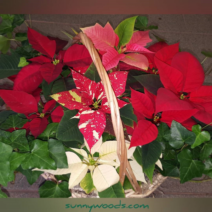 Poinsettia Willow Garden Basket