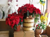 Poinsettias  Basket