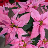 Poinsettias Blooming Plant