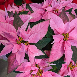 Poinsettias Blooming Plant in Southern Pines, NC | Hollyfield Design Inc.