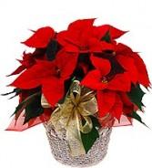POINTSETIA Christmas Plant