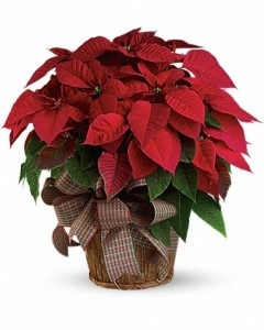 Pointsettia Christmas Plant in a Basket