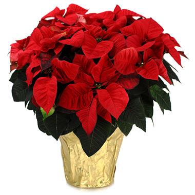 Pointsettia Plant