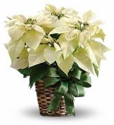 Poinsettia  SOLD OUT