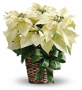 White Poinsettia  Holiday Plant