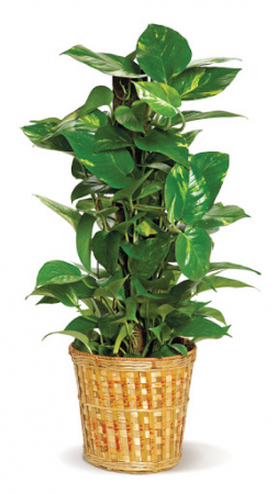 Pole Ivy (Pothos) Green plant