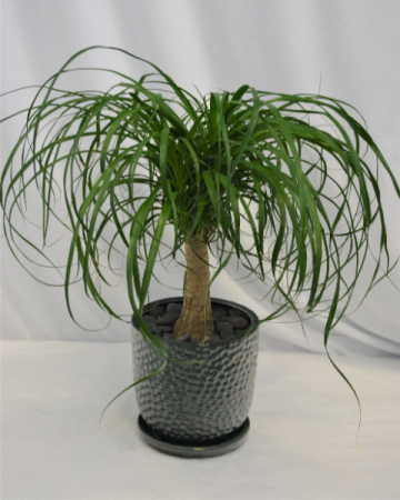 PONY TAIL PALM IN POTTERY  GREEN PLANT