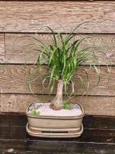 Pony Tail Palm Plant