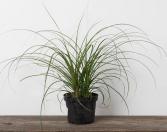 Ponytail Indoor Plant