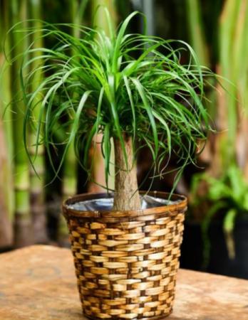 Ponytail Palm Green plant