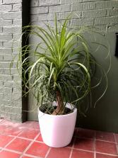 Ponytail Palm  in ceramic pot