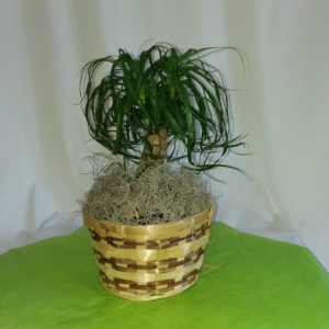 Ponytail Palm Plant in Norway, ME | Green Gardens Florist & Gift Shop