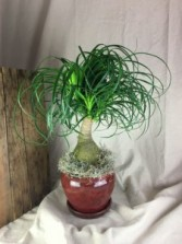 Ponytail Palm  Plant THREE OPTIONS Plant