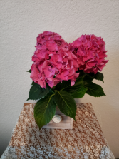 Pop of Pink Hydrangea Plant