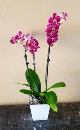Pop's Orchid Plant Living Orchid Plant in Ventura, CA | Mom And Pop Flower Shop
