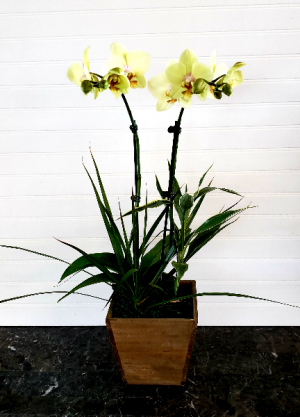 Pop's Yellow Orchid Garden Exclusively at Mom & Pops in Ventura, CA | Mom And Pop Flower Shop