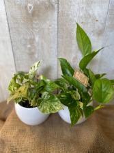 Pothos 3.5 Plants