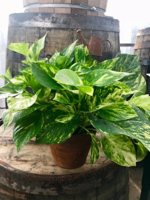 Pothos in a metal container Easy to care for plant in Balsam Lake, WI | BALSAM LAKE PRO-LAWN INC.