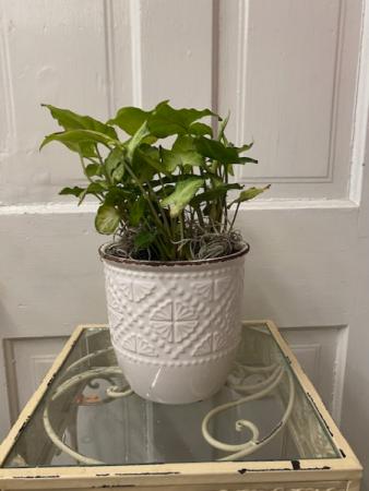 Pothos in keep sake planter
