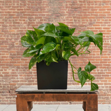 Pothos in pottery