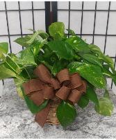 Pothos Ivy Green Plant
