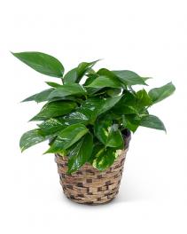 Pothos Plant in Basket Plant