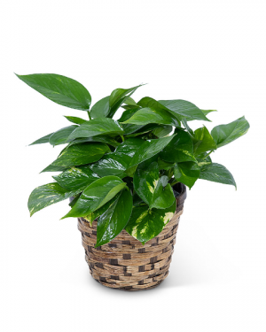 Pothos Plant in Basket Plant in Nevada, IA | Flower Bed