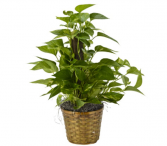 Pothos Plant Plant