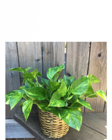 Pothos Plant *** Call for Availability  ***