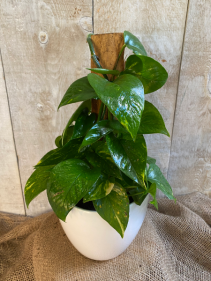 Pothos Totem  plant