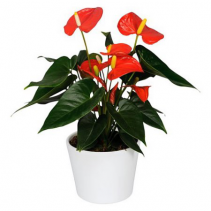 POTTED ANTHURIUM PLANT Pink/Red