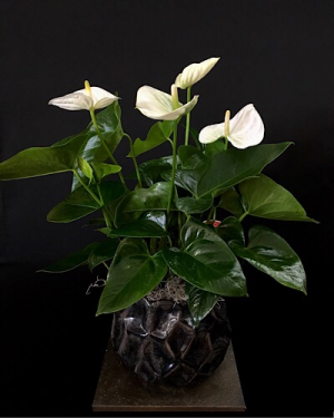 Potted Anthurium Plant in Chesterfield, MO | ZENGEL FLOWERS AND GIFTS