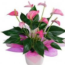 Potted Anthurium Valentine's Day