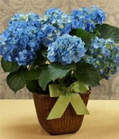 POTTED BLUE HYDRANGEA PLANT Gorgeous Hydrangea Plant for Mom