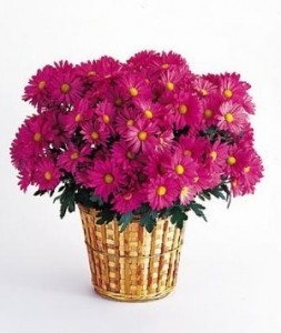 Potted Chrysanthemum Plant