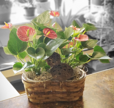 Potted Double Antherium Peanut basket