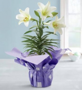 Potted Easter Lily Plant